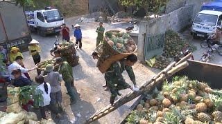 Nghệ An: Ngô vụ xuân bị thiệt hại do giông lốc