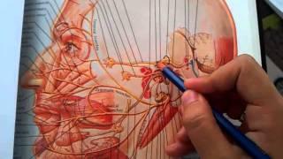 Facial Nerve (Cranial Nerve Vii)