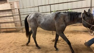 Sunday Sale 10-6-19 TAG 379 QH 18 MO BLUE ROAN FILLY PRICE $300