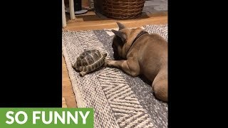 Pet tortoise really wants to play with French Bulldog
