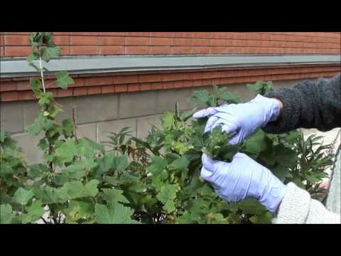 Болезни и вредители кустарников: описание, обработка кустов весной и осенью от заболеваний и насекомых