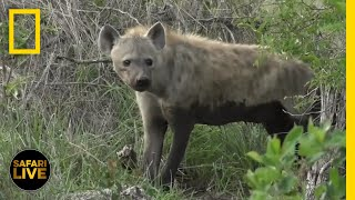 Safari Live - Day 284 | National Geographic thumbnail