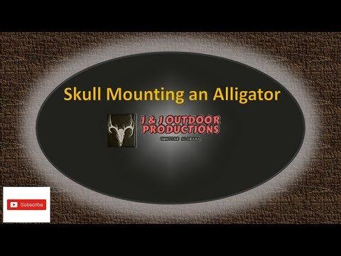 Skull Mount an Alligator Head September 2019 *Mild Graphic Content*