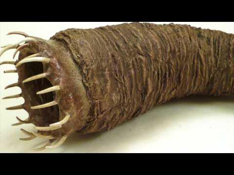Die Erhöhung des Penis tula
