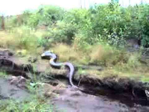 Big Snake in The Amazon Jungle