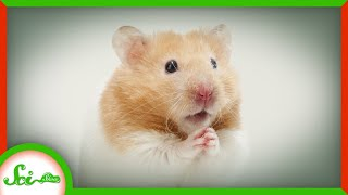 The Hamster That Saved Thousands of COVID Patients