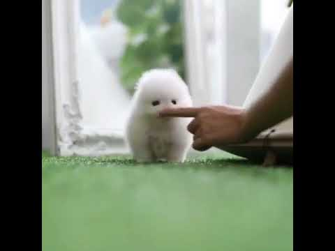 Baby Vanilla Micro White Pomeranian