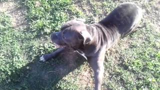 Blue pit bull seizures, beware very hard to watch! READ DESCRIPTION please, God bless