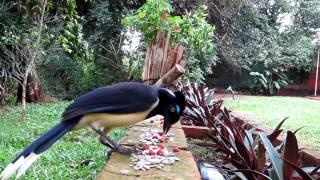 preview picture of video 'Cyanocorax chrysops - Grallha Picaça - Guest House Puerto Iguazu'