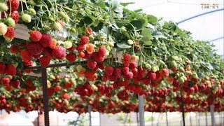 WOW! Amazing Agriculture Technology   Strawberry