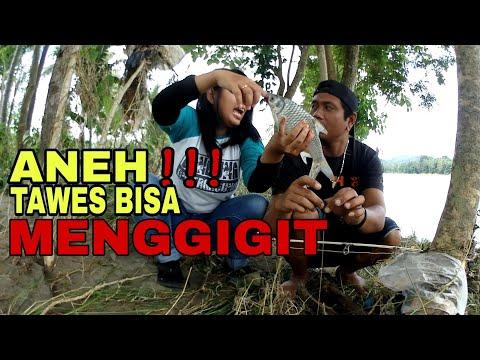 ANEH !! Baru Kali Ini Lihat Ikan Tawes Bisa Menggigit Chuii !!!