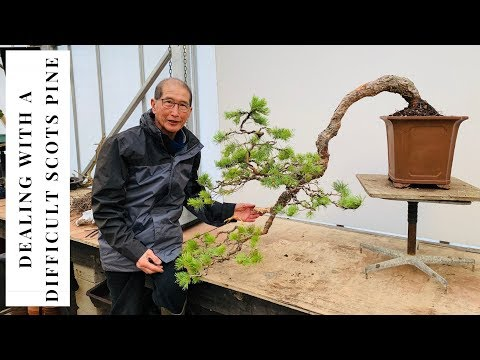 How to Deal with Difficult Scots Pine
