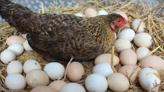 """Hen Harvesting Eggs to Chicks 