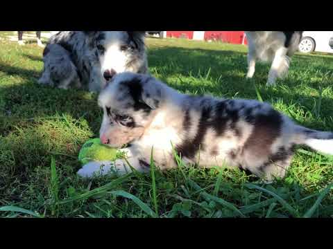 Border collie puppy Frost
