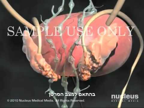 Какое функции у предстательной железы