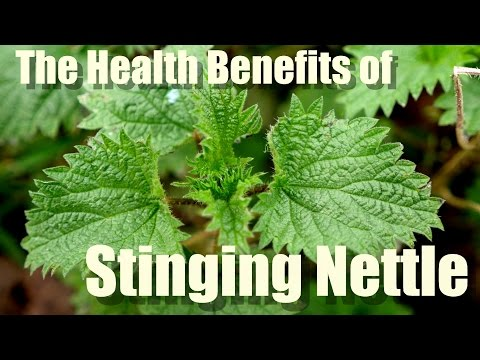 Video HEALTH BENEFITS OF STINGING NETTLE