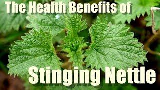 HEALTH BENEFITS OF STINGING NETTLE