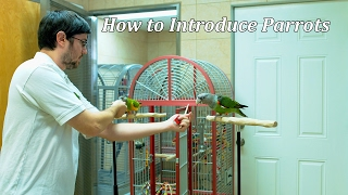 Introducing Parrots to Each Other - Kili & Truman's Reintroduction