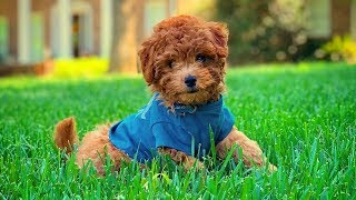 Cute Goldendoodle Puppies Video Compilation