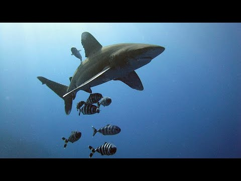 العرب اليوم - شاهد: اتفاق دولي للحفاظ على أسماك القرش والشفنين