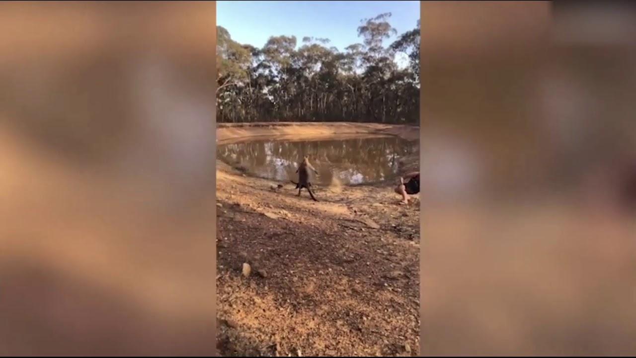 Совсем кенгуру распоясались