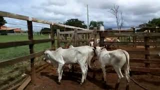 Bovino Corte Nelore Bezerro - e-rural Imagens