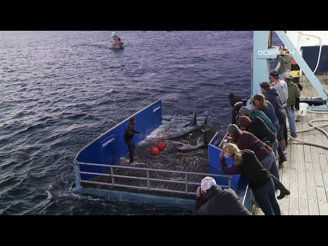 Great White Shark Caught, Tagged, Released For Science | Raw Video
