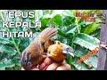 Download Lagu 🔴PIKAT BURUNG TEPUS KEPALA HITAM Mp3 Free