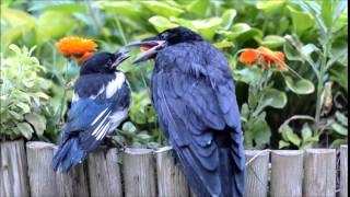 Magpie and rook talking