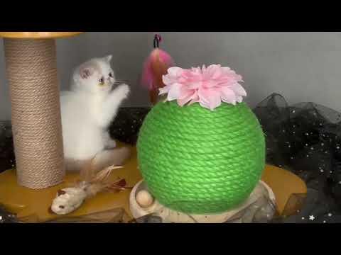 exotic shorthair cucciole femmine   video 1