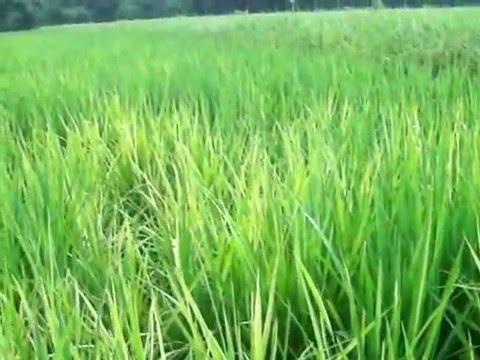 Video Penyakit tungro pada tanaman padi