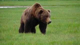 Katmai, BIG Brown Bear Approaching !! Close enough !!
