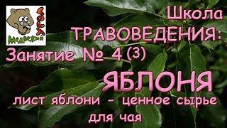 Школа ТРАВОВЕДЕНИЯ: Занятие №4 (3) ЯБЛОНЯ: лист яблони - ценное сырье для чая