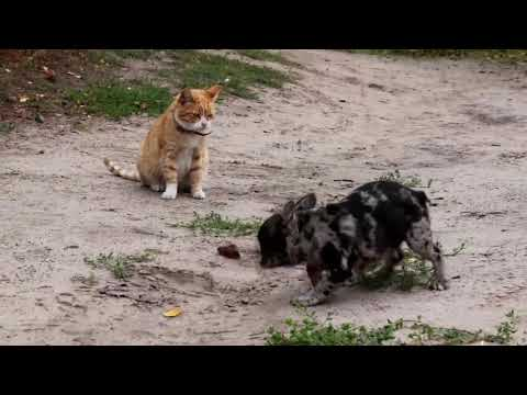 Merle French Bulldog female puppy Nala