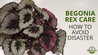 Begonia Rex Care (Don't Make These Mistakes!)