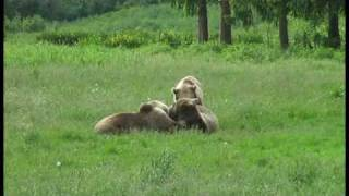 preview picture of video 'Tolle Bärenkinder im Wildpark Poing bei München - 2009 Mai'