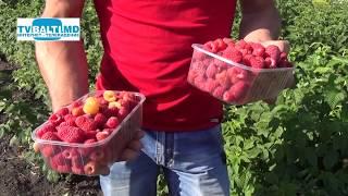 Урожай малины в самом разгаре...