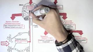 Neurology - Divisions of the Nervous System