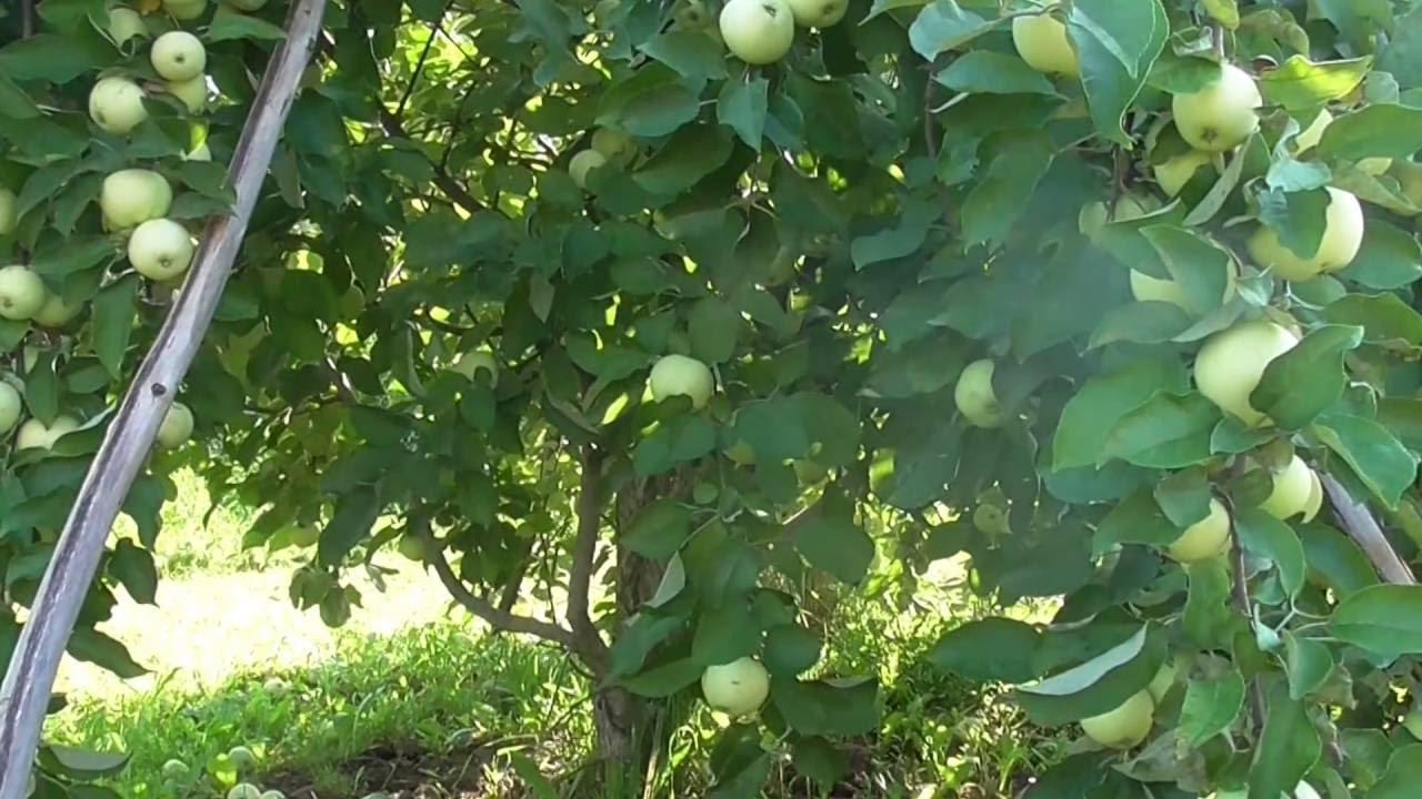 Яблоня Белый налив с яблоками.