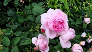 David Austin English Roses In The Garden -Growth Habit