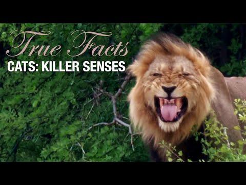 Zabijácké smysly koček - Pravdivá fakta