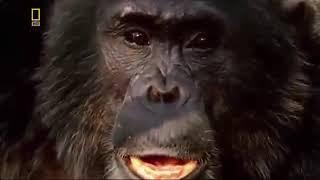Orangutan НАПАДЕНИЯ в джунглях реального видео в Full HD 1080p