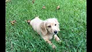 Picking Up My Cream Dachshund Puppy