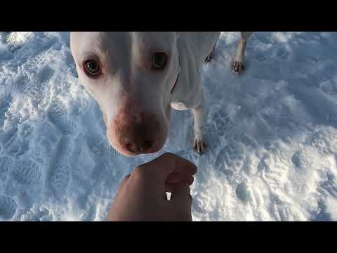 Avalon, an adoptable Pit Bull Terrier in Big Rapids, MI