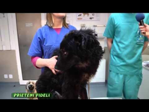 Respiratory papillomatosis who