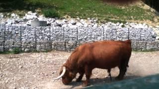 bull Бык — не надо брать быка за рога!