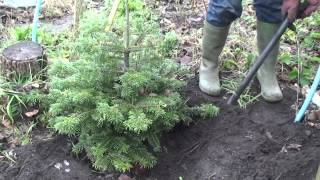 How to look after your real Christmas Tree with roots