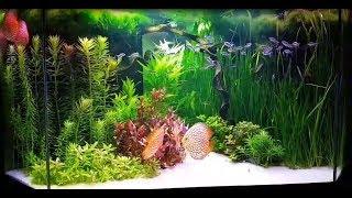 Pandas Are Great Tank Mates For Discus. New Video Of Paul Grand (France)