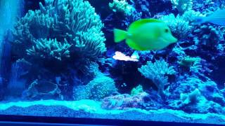 New Fish Added. Pomacanthus Annularis