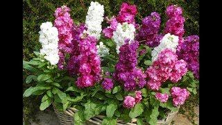 Красивые цветы для дачи видео